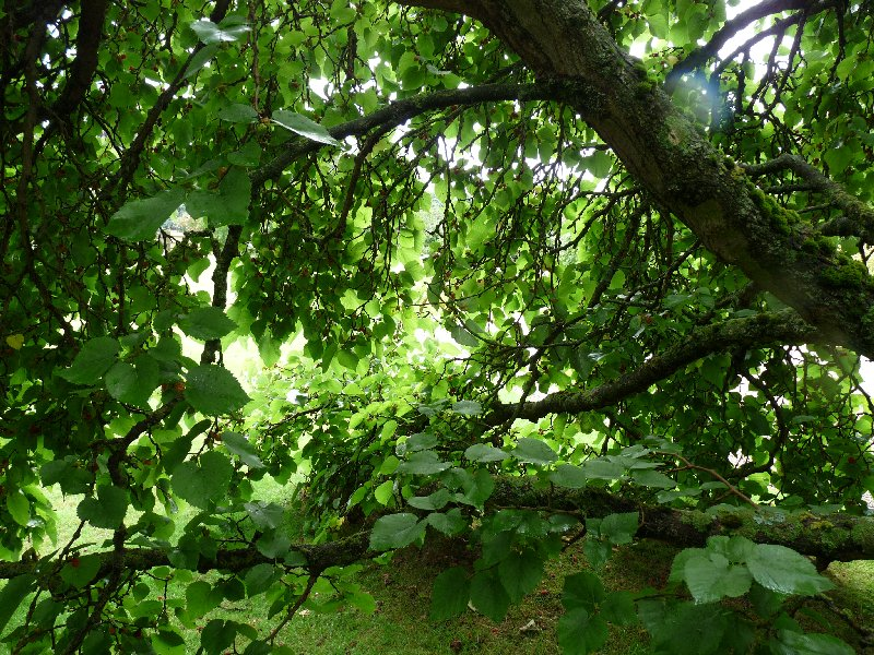 Hunt the mulberry.  It's quite a job.