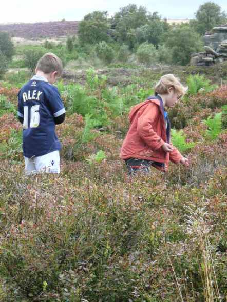 Bilberry gathering.