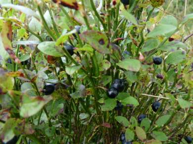 Bilberries.
