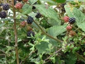 Blackberries waiting to be picked.