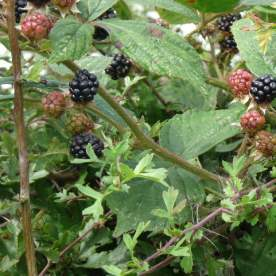 Blackberries waiting to be picked.