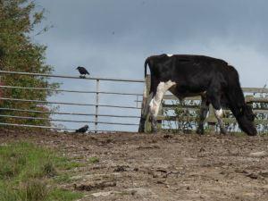 Cow on a mango-hunt.