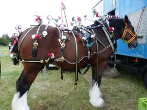 A Yorkshire shire horse, her 80 year-old owner's pride and joy.