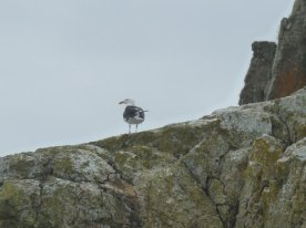 Herring gull on Ramsay Island.