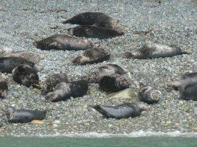 A beach full of seals.