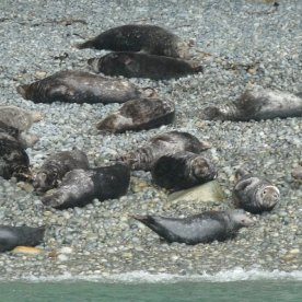 A beach full of seals.