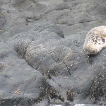 A seal pup, easily identified by its white spotty coat.