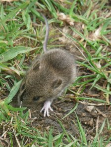 One of the voles we spotted on our walk.