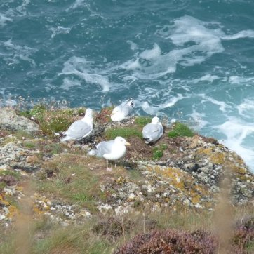 Herring gulls taking a break