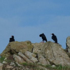 Choughs on a rock.