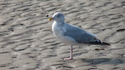 A young herring gull.