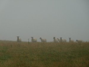 Sheep inspecting the troops.