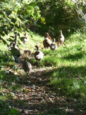 Young pheasants form an advance guard on our walk.
