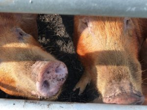 Two nosey pigs.