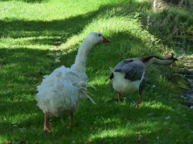 .. and then two geese, one very much worse for wear.