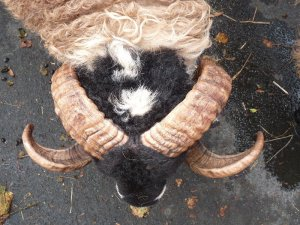 The splendid horns of a Swaledale sheep.