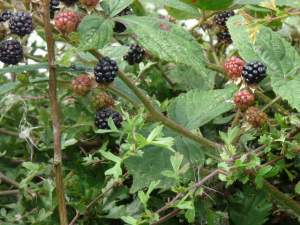 Blackberrying near Harewood.