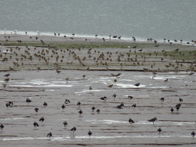 Those are lapwings in the foreground.  Behind are golden plovers.