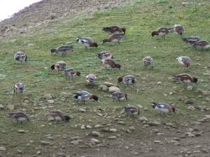 Wigeon feeding