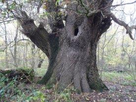An ancient oak