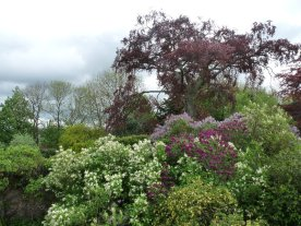 The view from the kitchen window in May: the copper beech behind the lilac.