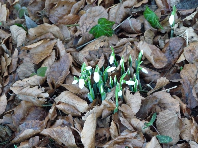 Snowdrops push above the leaf mould