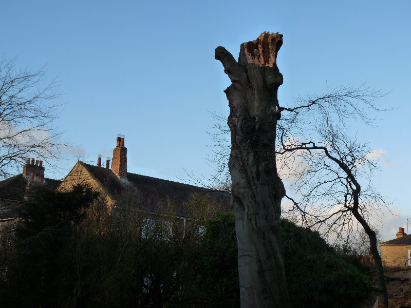 The ruined copper beech with our house just behind.