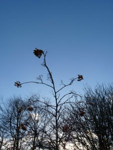 Rowan berries against a chilly blue sky.