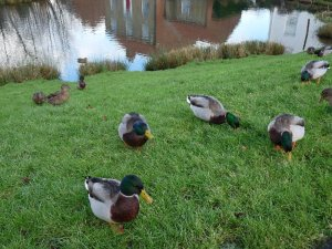 Drakes and ducks hoping for crusts.
