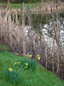 Daffodils by the pond.