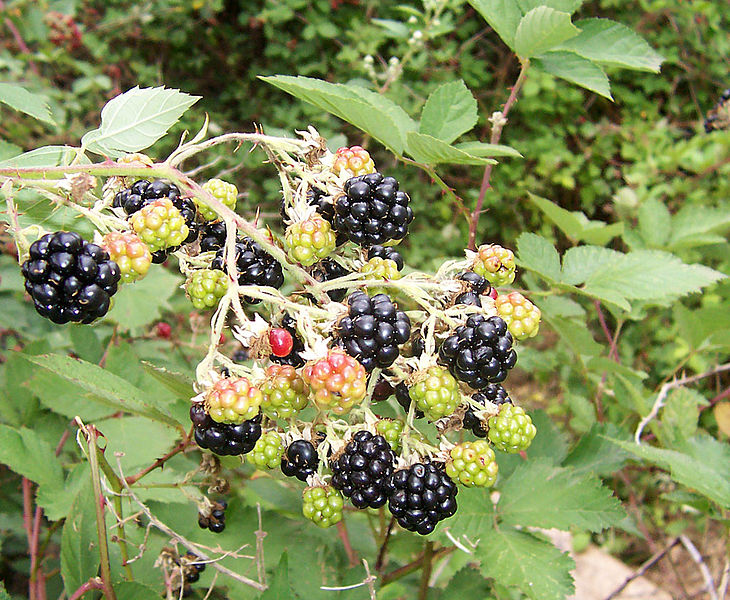 Blackberries? ............ (Wikimedia Commons)