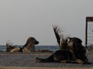 Street dogs by the sea at Ayvelik.
