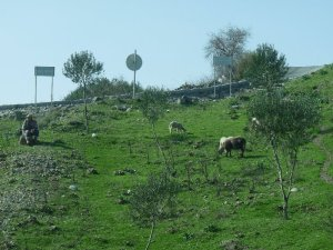 A nomad tends his flock outside Bergama.