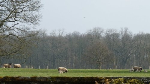 The sheep and lambs of Newby Hall, glimpsed from the churchyard.