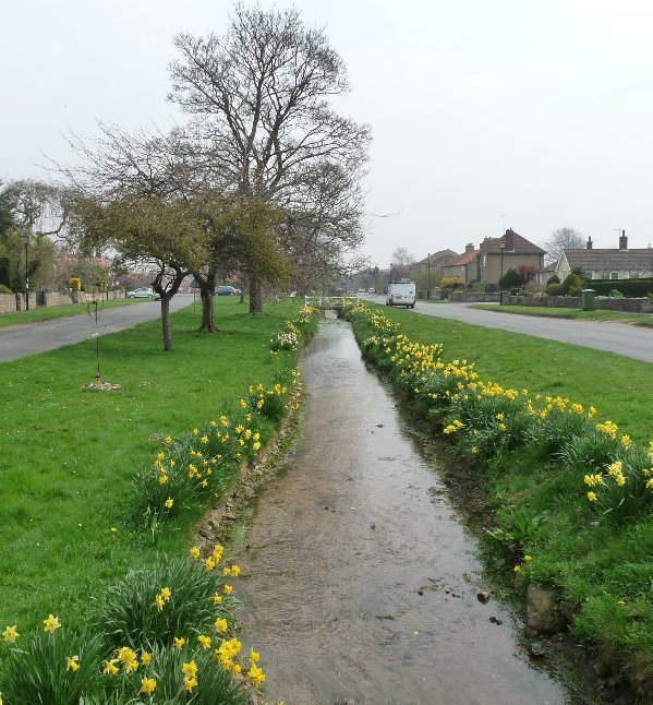 Daffodils in Snape, the village along the road.