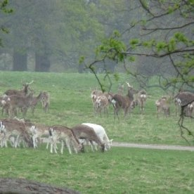 Fallow deer. There's just one white one in their midst.