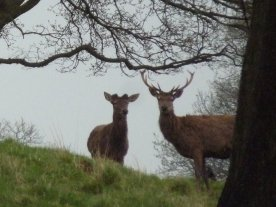 Young red deer.