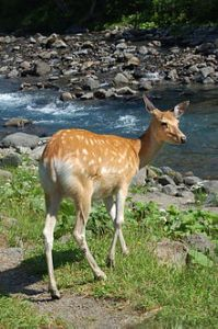 Sika doe, Wikimedia Commons.