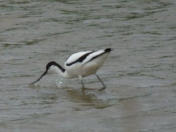 Our favourite. The graceful avocet.