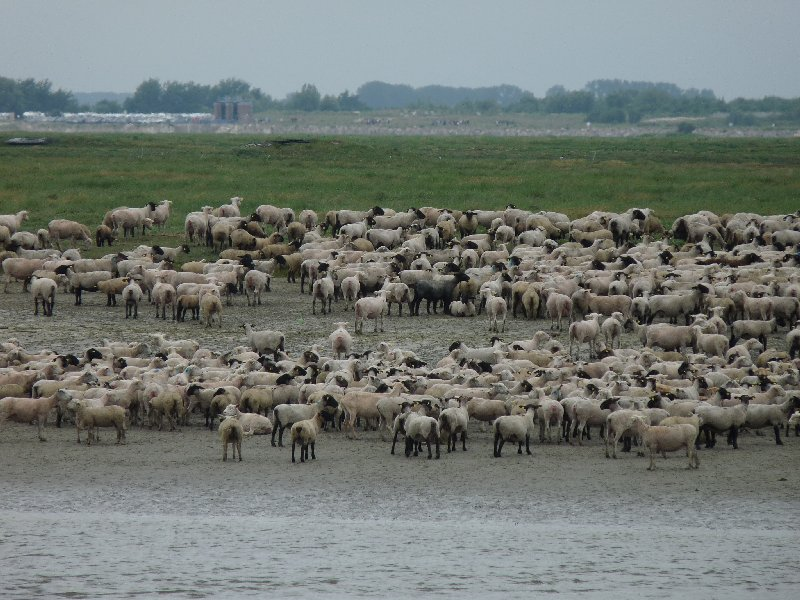 Sheep grazing at the estuary.