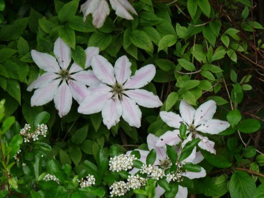 Clematis cling to the wall.