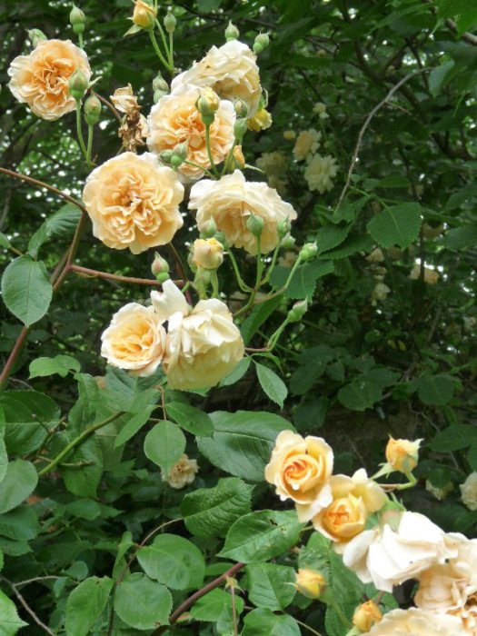 I wish you could smell these roses.