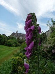 A self-seeded foxglove makes a bit of a statement.