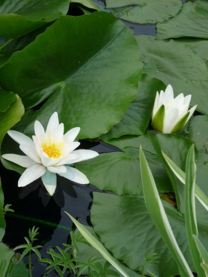 Waterlilies in the pond.