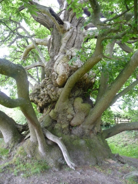 A Spanish sweet chestnut shows its age.