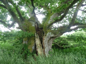 The 1000 year old Quarry Oak at Croft Castle.