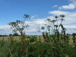 High summer farmland.
