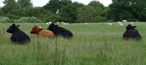 Cows at rest during a hard day in the pasture.