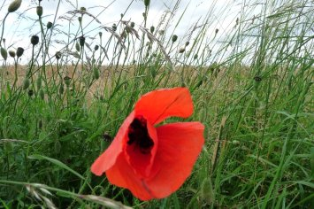 The last of the poppies.