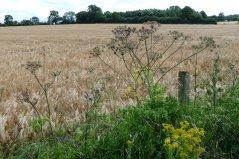 Wind-tossed barley.